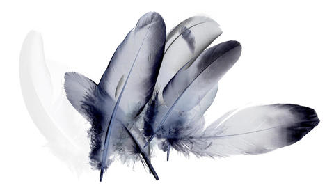 Dark blue, black and purple feathers appearing progressively, isolated on white Animation