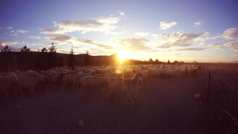 One sheep looks at the camera amid a walking flock, raising dust at sunset near  Footage