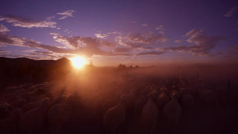 Pov a Lot of Sheep Raise a Cloud of Dust at Sunset, Trees and Fences, the Sun To Footage