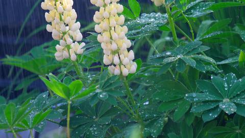 Lupine blooming under summer rain Footage