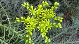 Sedum rupestre flower in the garden - macro Footage