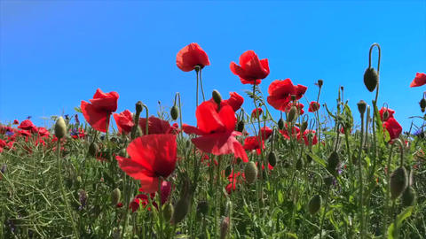 Red poppies against the blue sky Footage