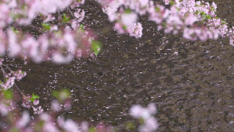 Cherry blossom petals floating on the water ビデオ