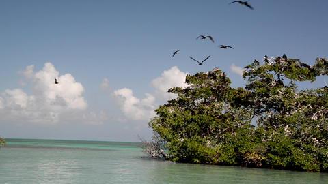 Frigatebirds near Punta Allen, Mexico Live Action