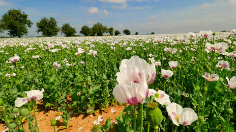 View over white poppy flowers moving in the wind. Filed with poppy blossoms and  Footage