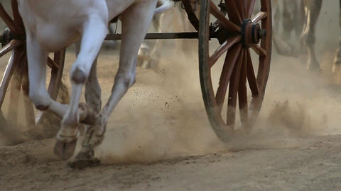 Bullock cart race Footage