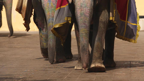elephants in Amber fort Jaipur, Rajasthan, India. Legs of elephant Filmmaterial