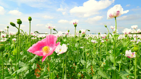 Poppies on sunny day. Alone red pink poppy flower hybrid between white poppies i Footage