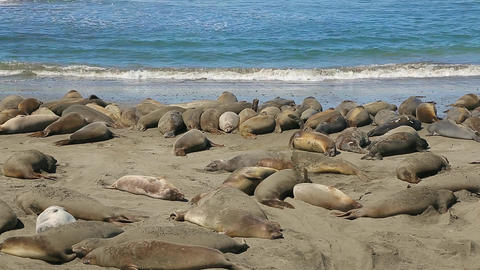 Northern Elephant seal colony Footage