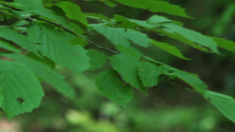 Wind blows green leaves. Motion background 02 Footage