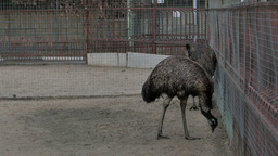 Two grey ostriches in a zoo near the cage Footage