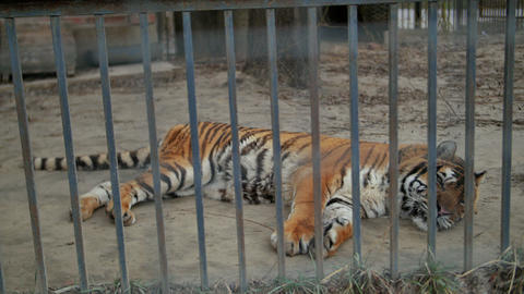 Tiger In The Zoo Cage stock footage