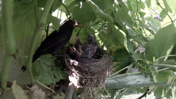 Blackbird mother feeding her babies in the nest 2 Footage