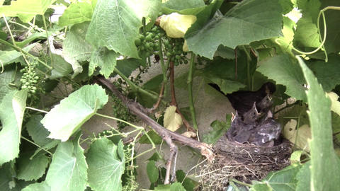 Blackbird mother feeding her babies in the nest 5 Footage