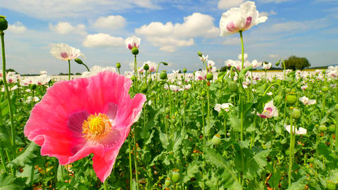 Pink poppy hybrid. Detailed red pink poppy flower hybrid between white poppies i Footage