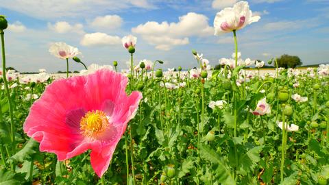 Pink poppy hybrid. Detailed red pink poppy flower hybrid between white poppies i Footage