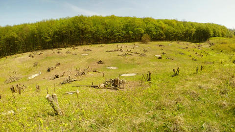 Fresh cutting of trees, stumps under the blue sky near the forest Footage