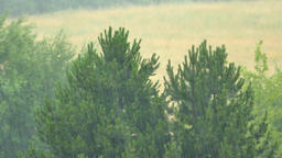 Heavy rain comes. View of falling drops in pine trees background Footage