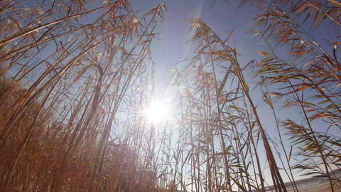 The sun flickers in the dense thickets of reeds in the wind Image