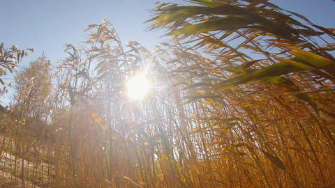 Dense reed swaying in the wind under the rays of the sun Footage