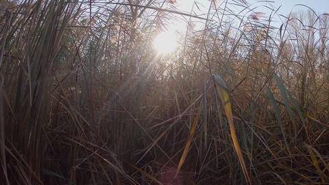The rays of the sun flicker in the thick dry thickets of reeds or tall grass Footage