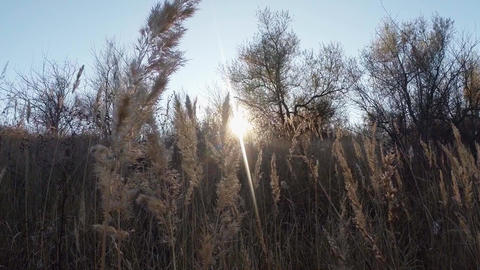 Dry ears of wild grass in the sun, trees Footage
