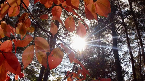 The sun shines through the crimson foliage and the coniferous forest Footage