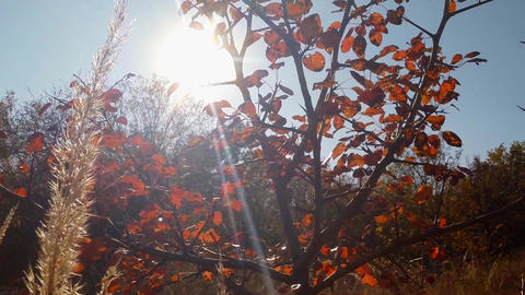 The sun shines through the red leaves of the bush Footage