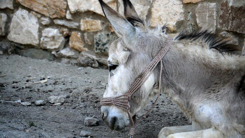 The donkey is lying on the ground close up Footage