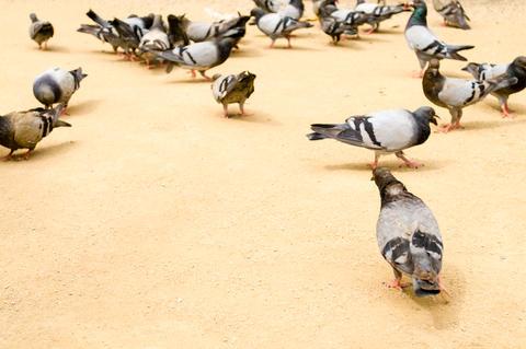 Flock of urban pigeons Photo