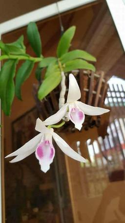 Dendrobium anosmum Foto