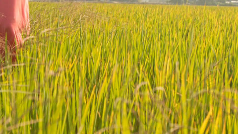 Girl in Long Rink Dress Walks across Rice Field Footage