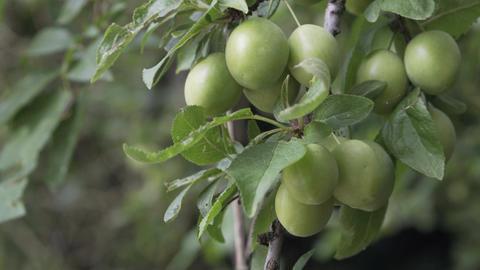 Cherry Plum Unripe on Tree Closeup Image