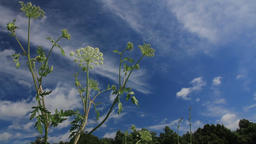 cow-parsnip and the wind Footage