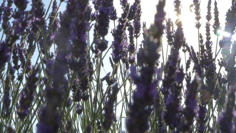 Sun Flare Through Beautiful Blooming Lavender Flowers Footage
