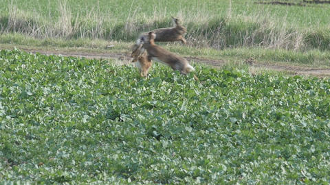 Slow motion of a spectacular jump of three brown hares 画像
