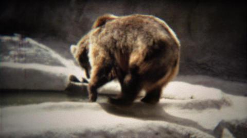 1972: Big grizzly bear walking around gray concrete zoo habitat Footage