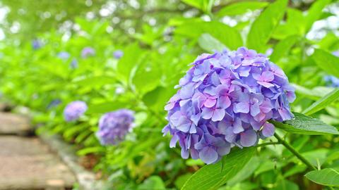 4K 紫陽花 ビデオ