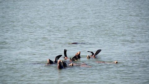 Sea Lions Swimming Live Action