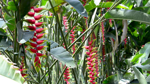 Beautiful Red Heliconia Flowers Footage