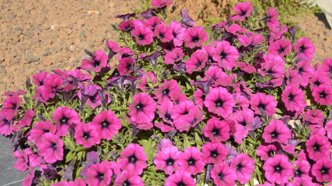 Pink Flowers On A Big Bush Image