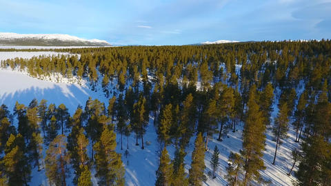Low level drone flight over a northern pine forest in winter Footage