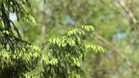 Young spruce shoots on branches Footage