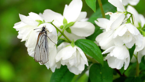 Black Veined White butterfly on Jasmine Footage
