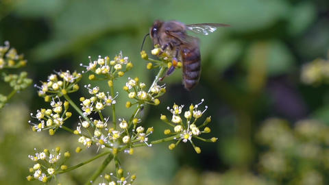 Bee collects nectar Image