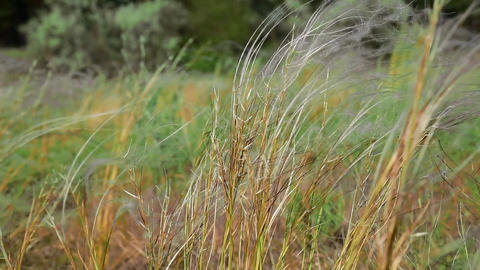 The steppe feather grass ビデオ