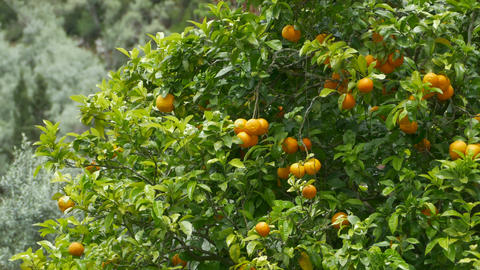 Orange Fruits in Tree Footage
