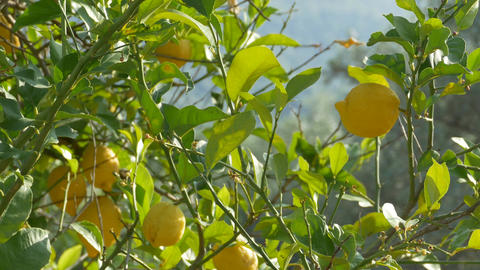 Lemons Grown on Tree Footage