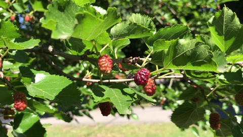 Mulberry tyutin, berry tree in the garden Footage