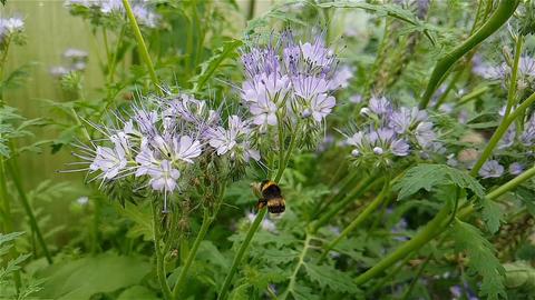 Hairy bumblebee pollinates plants Footage